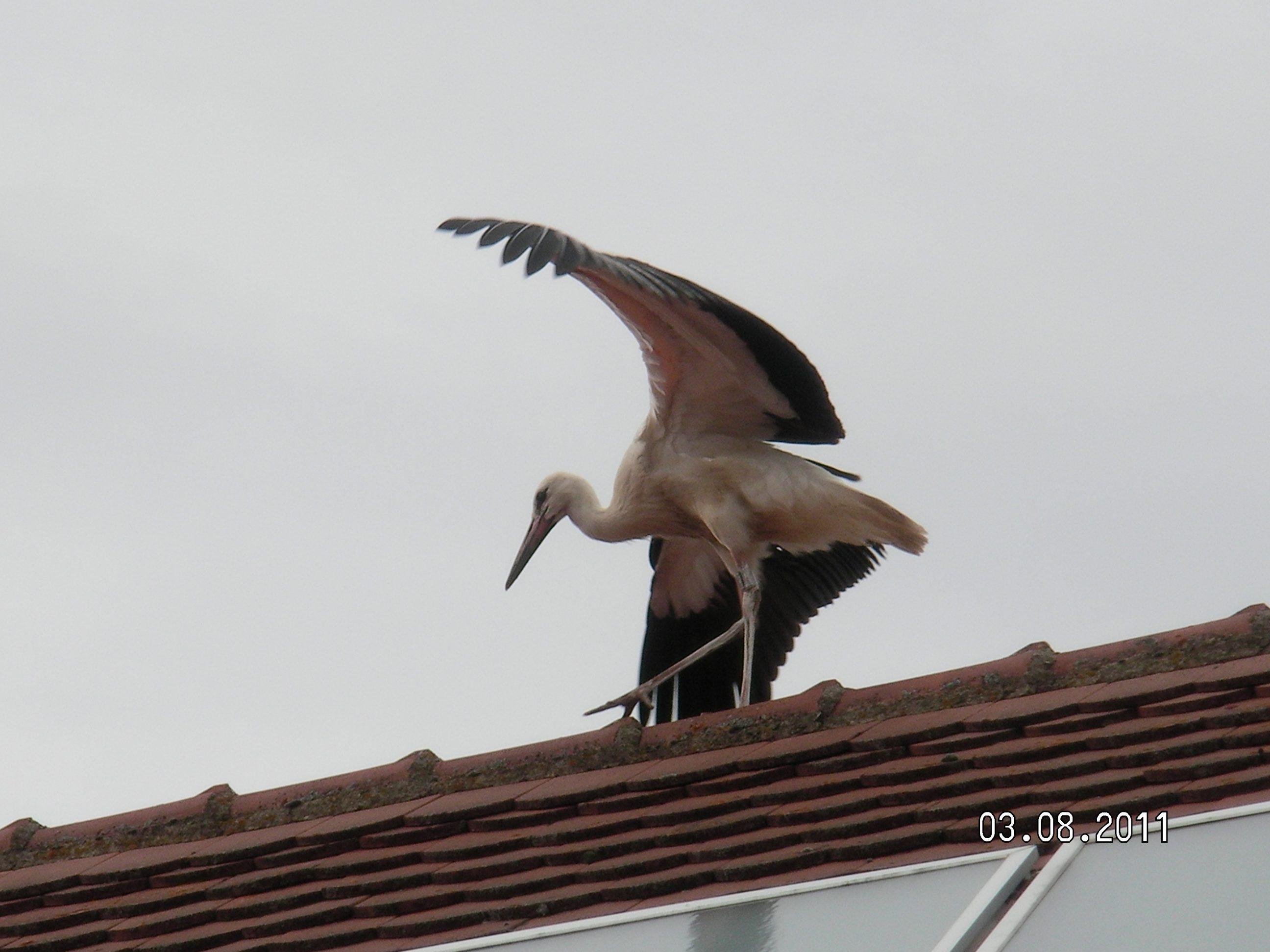 Storch auf dem Hausdach