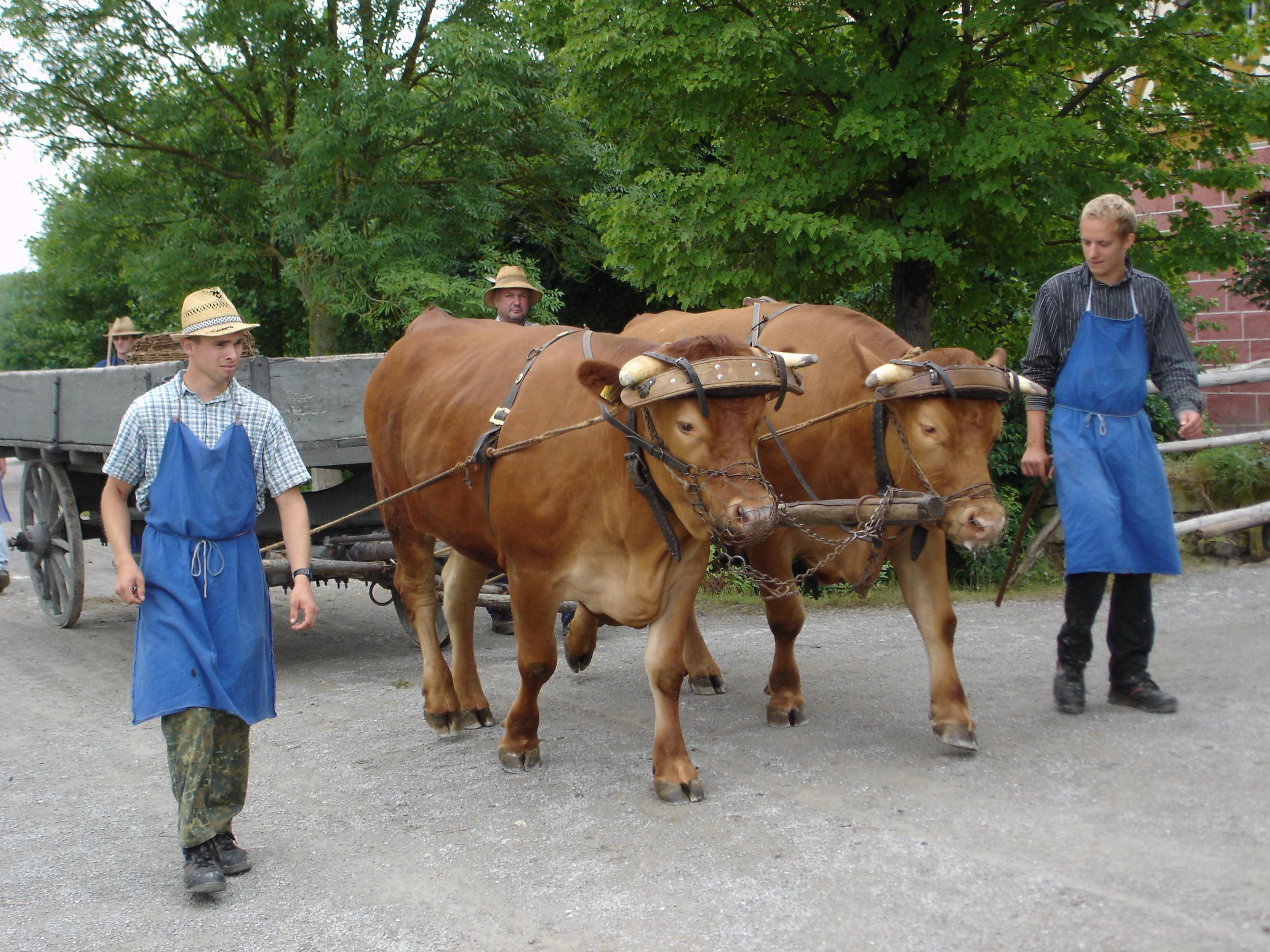 Kühe eingespannt im Freilandmuseum Bad 'Windsheim